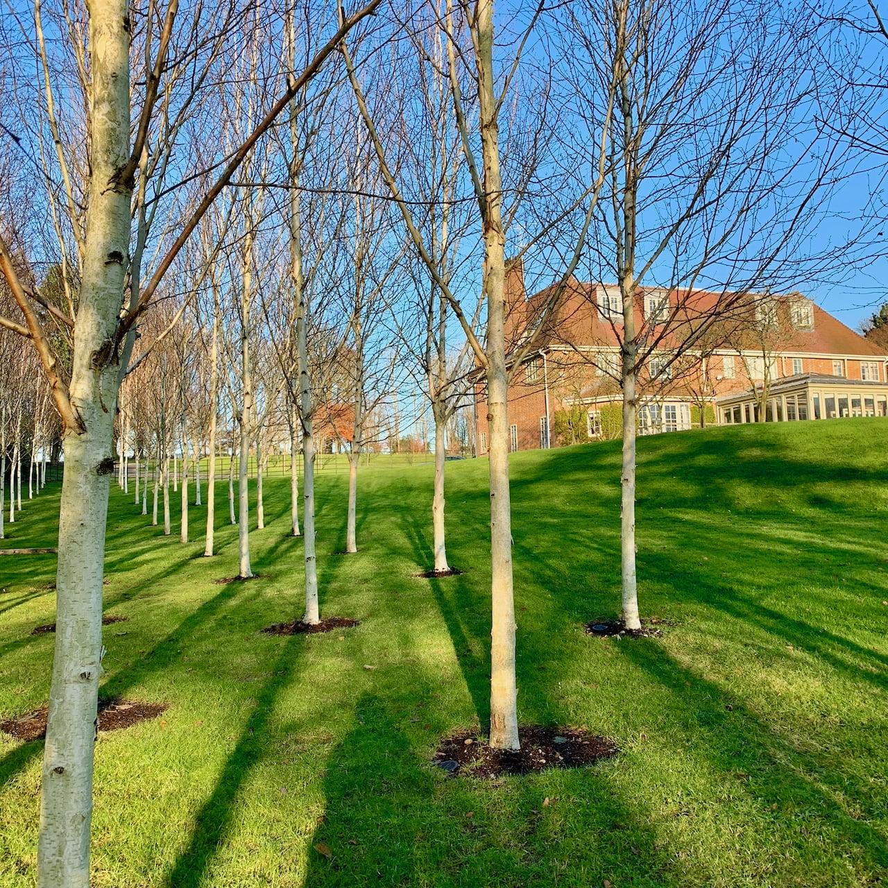 Silver birch trees mass planted in this Buckinghamshire garden by Jo Alderson Phillips