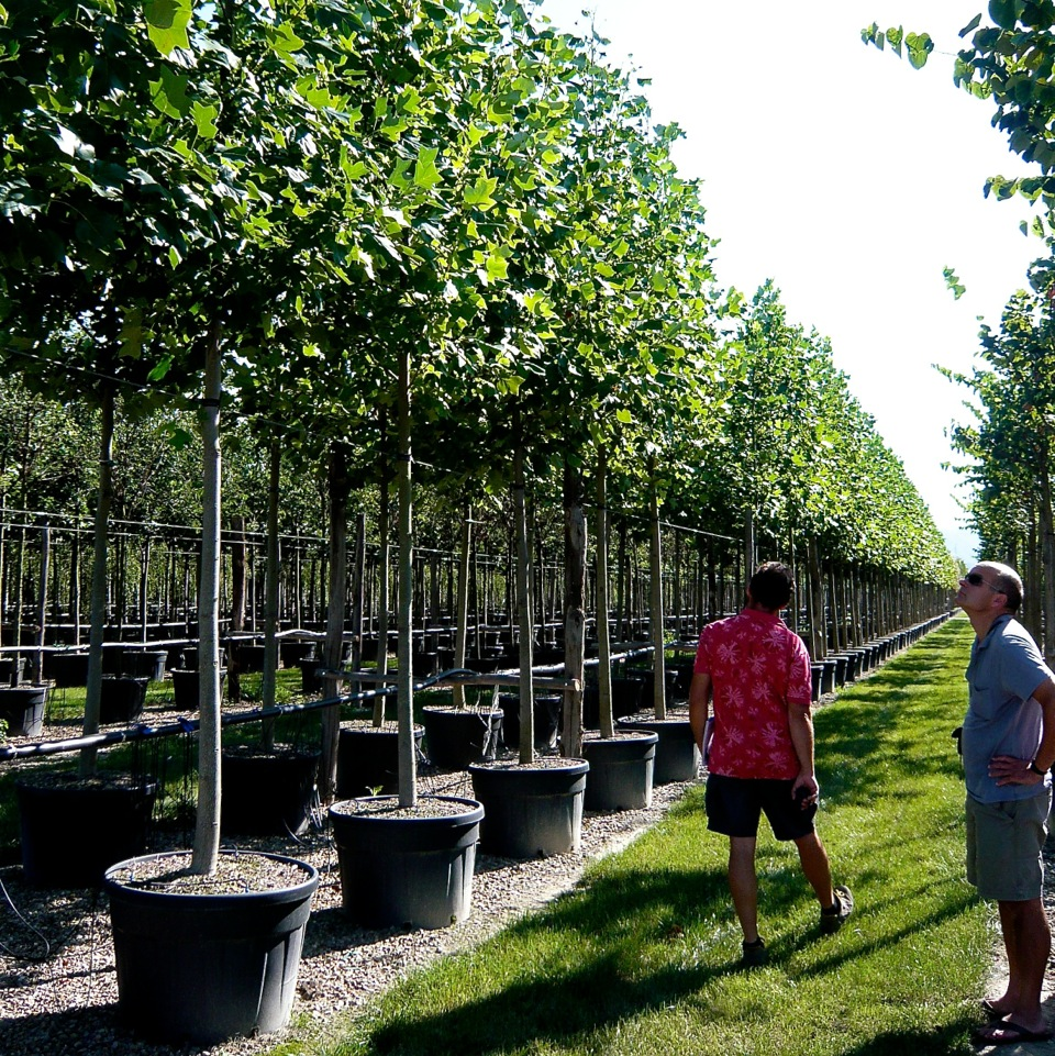 JOANNE-ALDERSON-GARDEN-DESIGN-BERKSHIRE-SUMMER-TREES-5