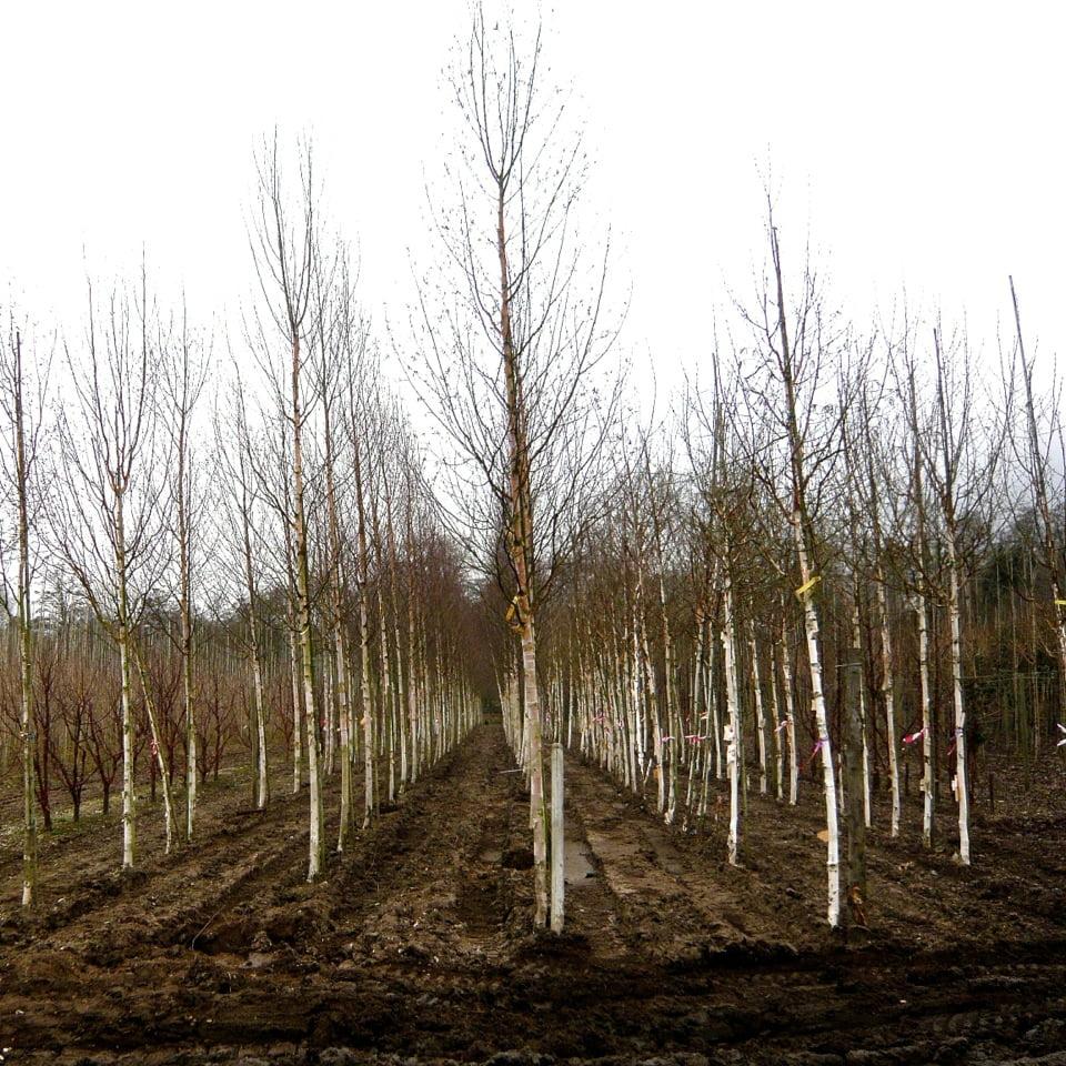 buying trees in winter jo alderson phillips