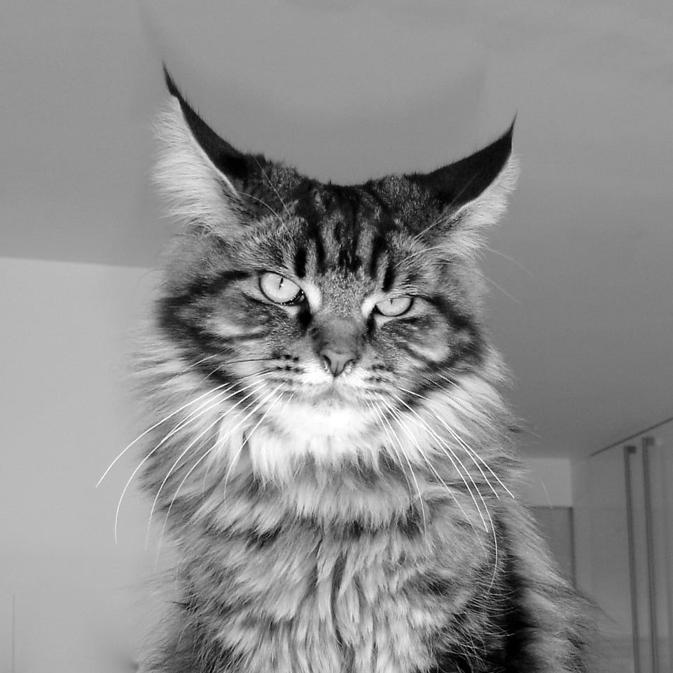 This is Dillon our Maine Coon cat whom we adore
