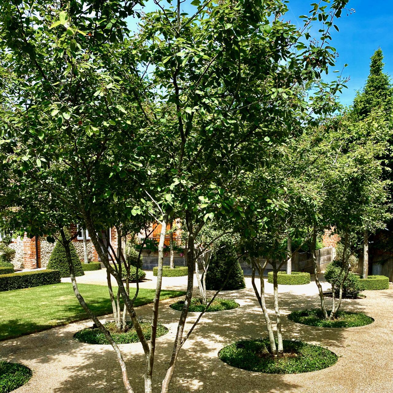 Amelanchier trees through gravel by Jo Alderson Phillips