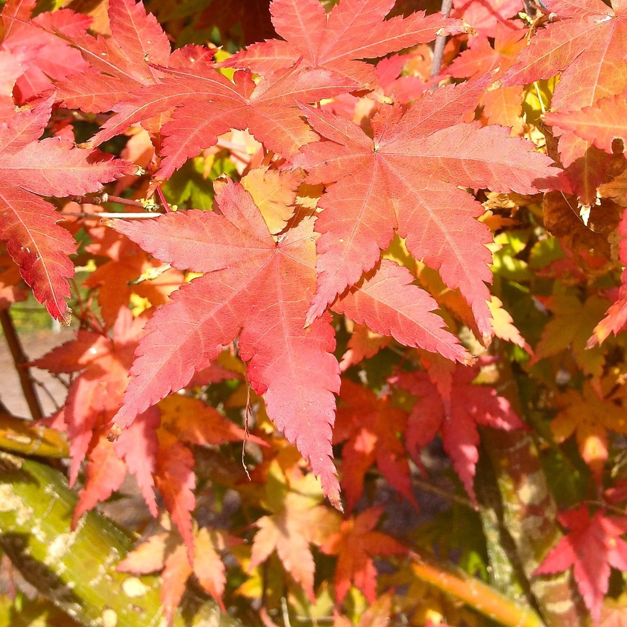 Beautiful Autumn foliage of these Acer trees we were buying for clients at Hilliers tree nursery