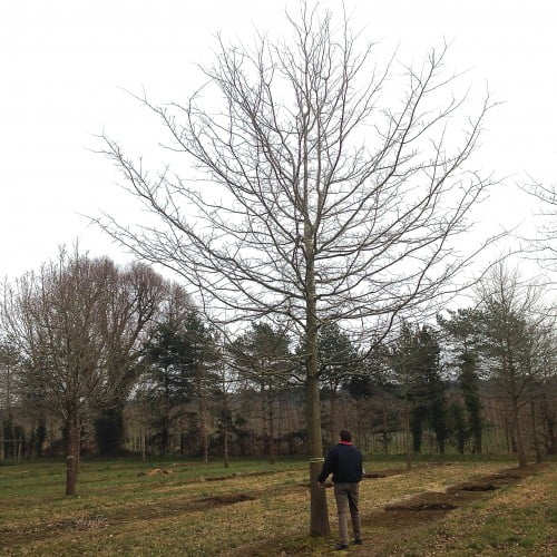 I bought this lovely oak tree from Hilliers tree nursery for my clients near Wargrave. It will be quite the showpiece when it goes in. We buy them in the field like this & whist still dormant they are dug up & transported to their new home. They wake in the spring to a new view! Providing they are carefully handled, well guyed, watered & fed they do not mind in the least