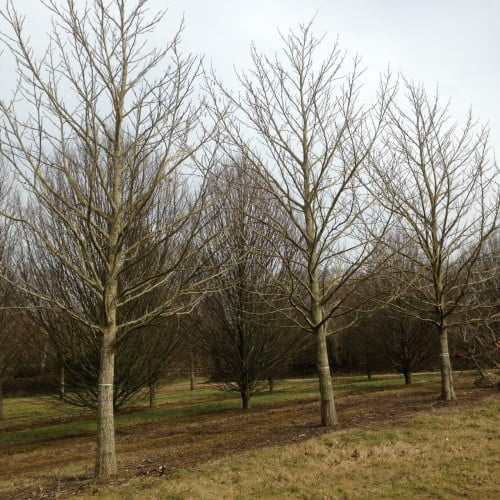 I bought these mature wing nut trees for a large estate in the Cotswolds - aren't they beautiful?