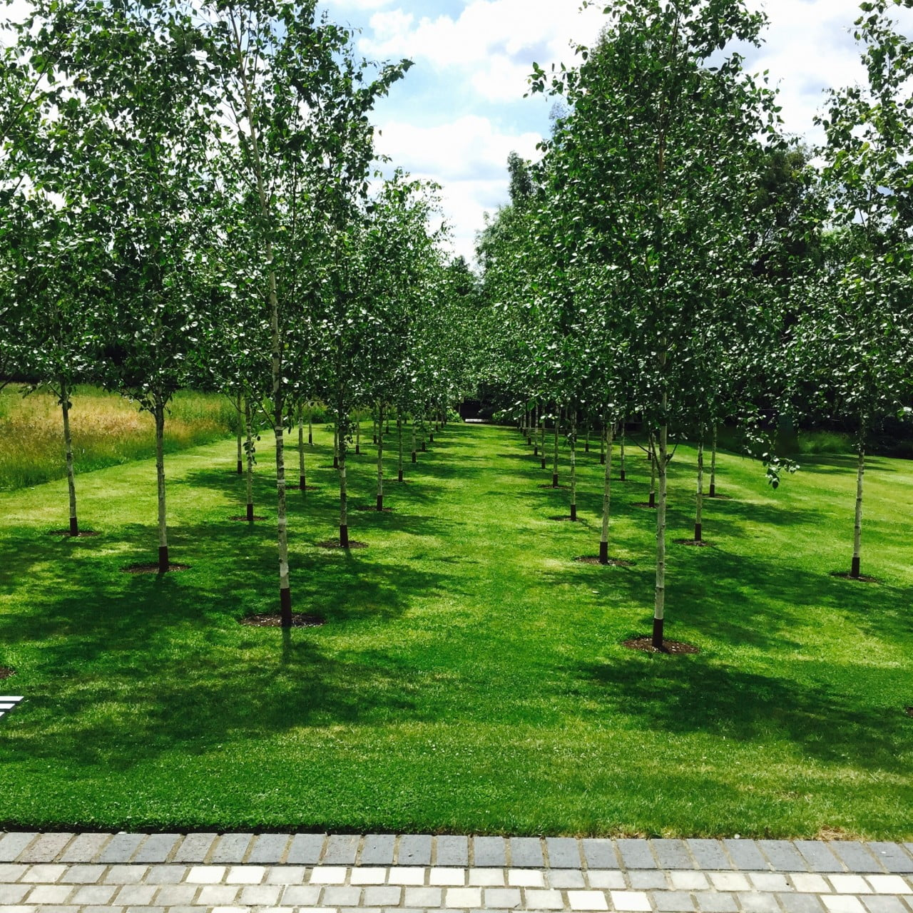 This avenue of silver birch trees is one of my favourite sightlines in this garden I designed for Jane in Buckinghamshire