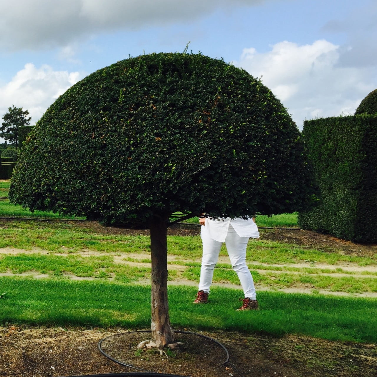 Isn't the topiary fantastic? It's growing in the field at the nursery