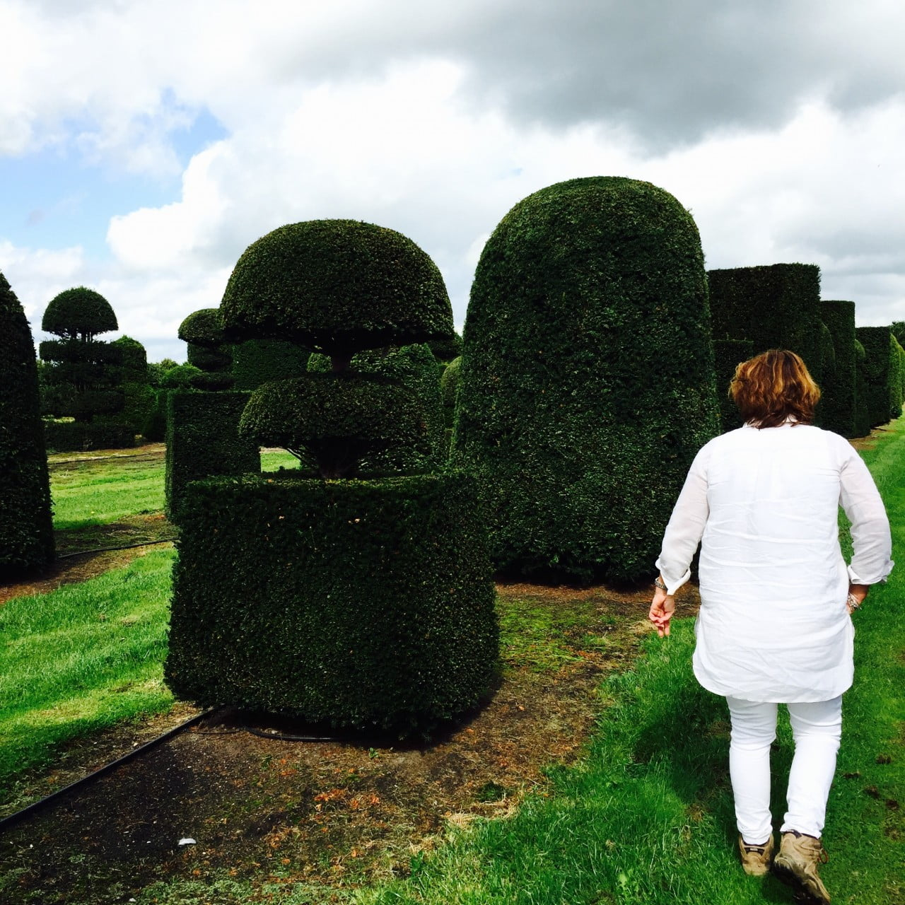 Huge Yew topiary specimens in the field that we were choosing for my clients