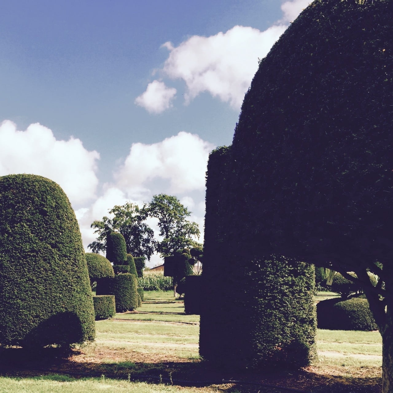 Fabulous yew topiary at the nursery in Belgium