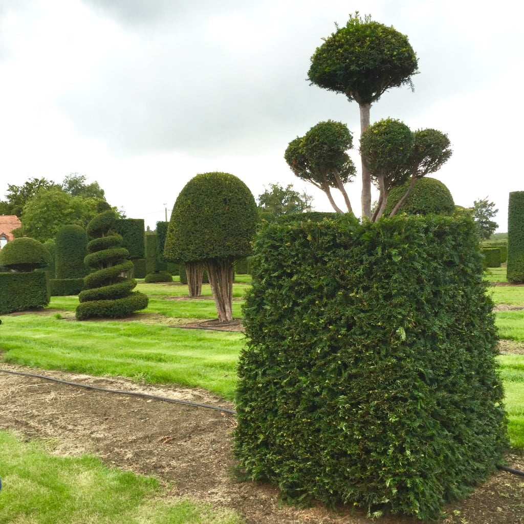 Large yew topiary specimens in quirky shapes for my clients