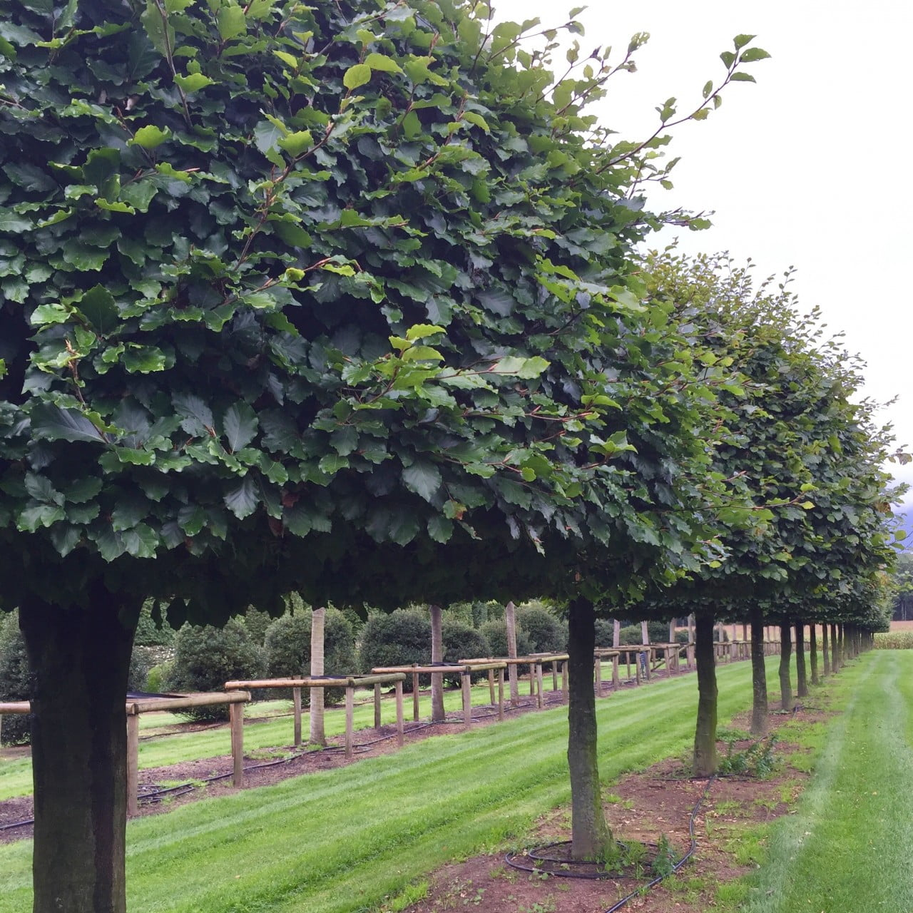 This are beautiful domed beech trees at the nursery in Belgium. Saw these on a shopping trip for my clients
