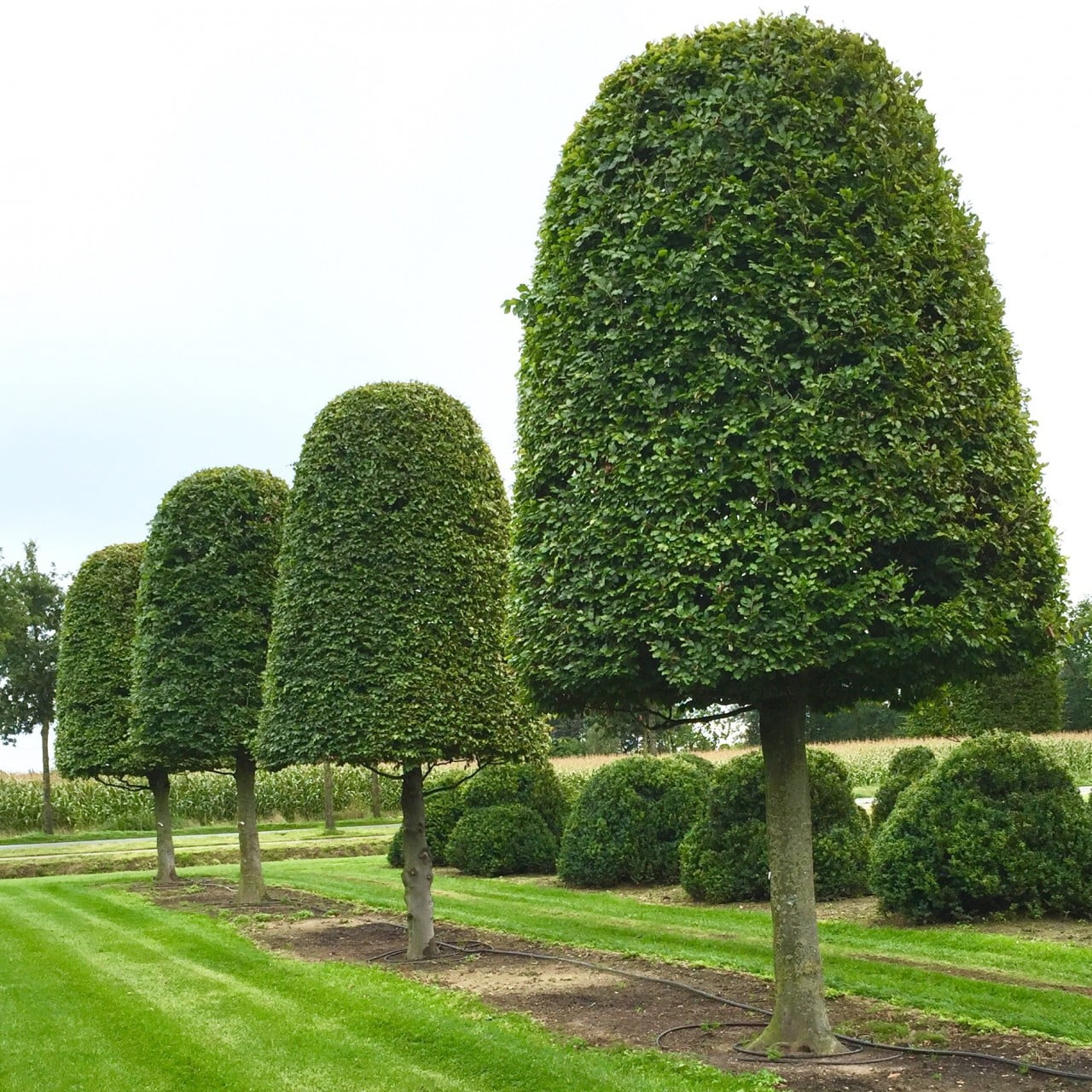 Beautiful mature topiary at the nursery in Belgium. This is hornbeam
