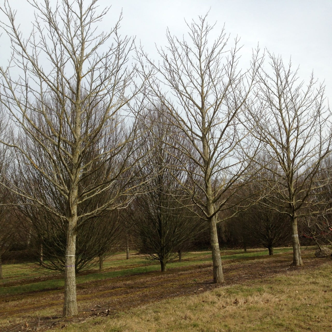These are mature wingnut trees I chose for my clients estate in the Cotswolds
