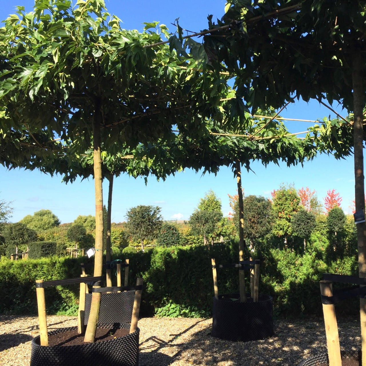 These are beautiful roof trees at the nursery. I use them for shade & they create great structure in a garden