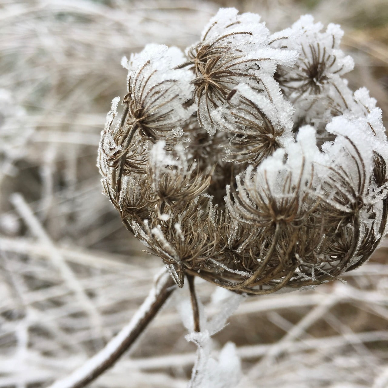 I took this photo of a weed seed head in France in January. A beautiful frosty seedhead.