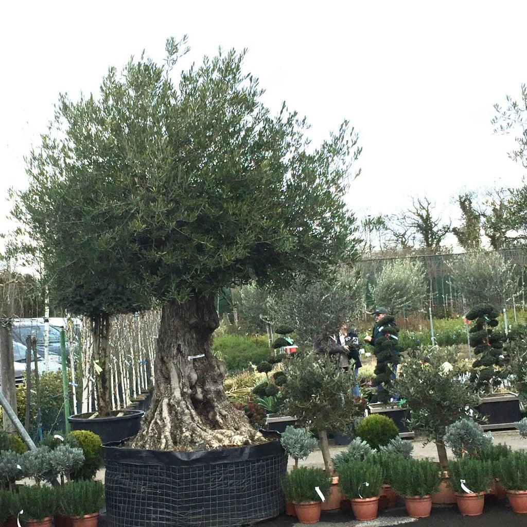 Olive tree from Europlants - shopping trip by Jo Alderson Design