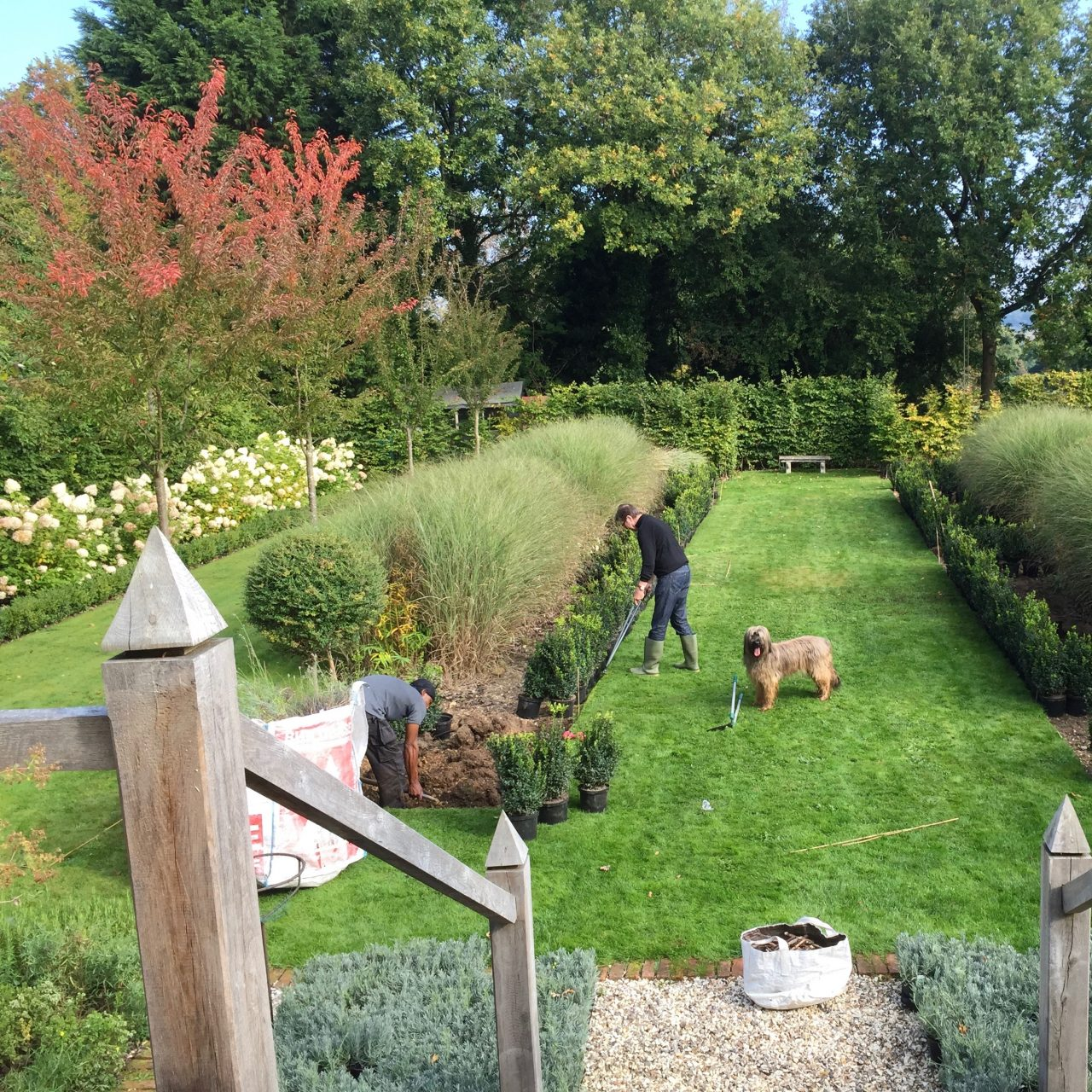 Work underway in my own garden here in Buckinghamshire laying out formal beds, topiary, grasses & hydrangea limelight