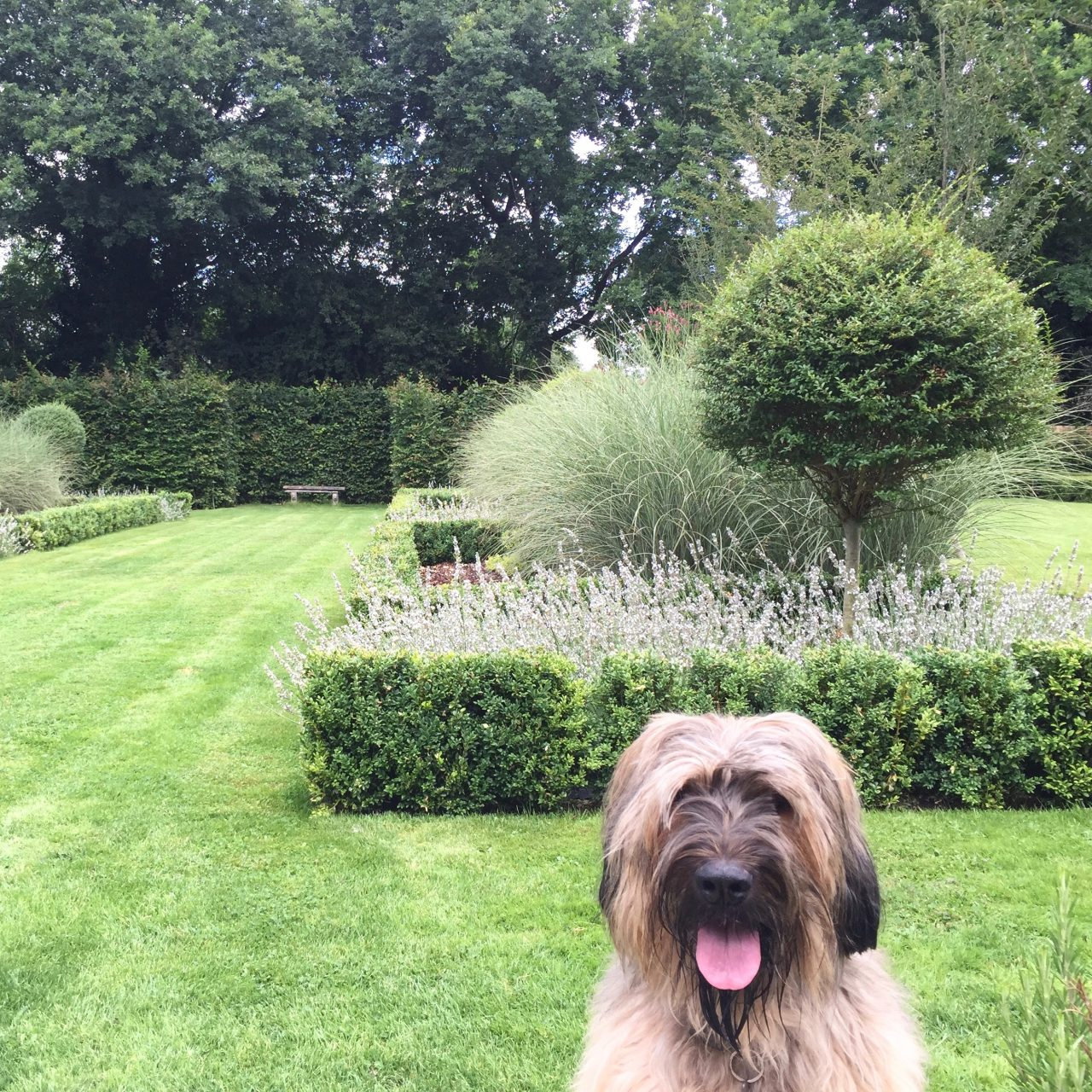 Our briard Charlie in our own garden here in Buckinghamshire. Although a formal garden design it is also a dog friendly garden