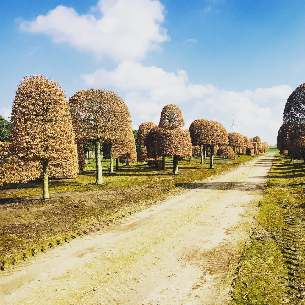 Here's a row of mature beech topiary specimens that we buy in Begium. www.joannealderson.com