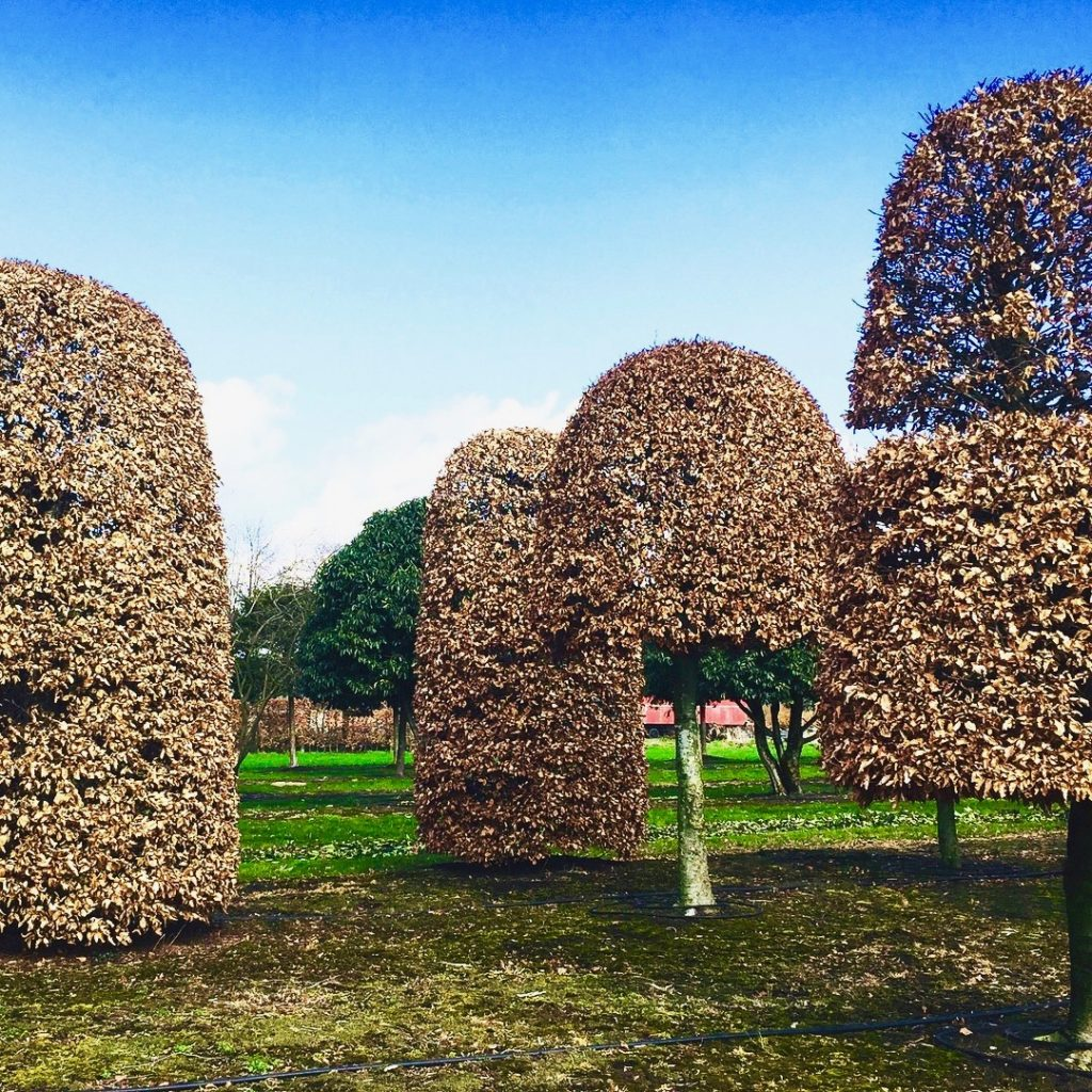 These are mature beech topiary specimens that we buy in Begium. www.joannealderson.com