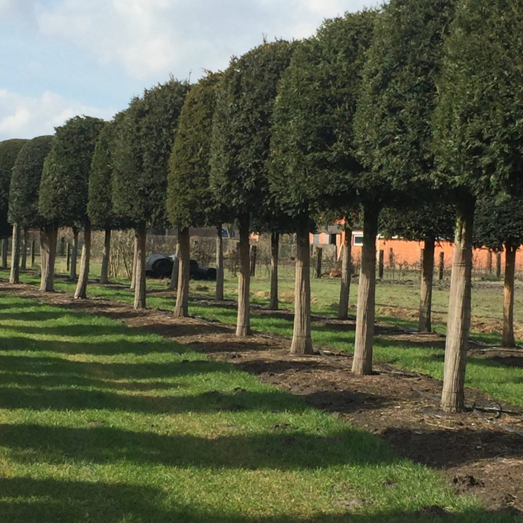 A line of yew domes on stems for Alice in Wonderland style topiary