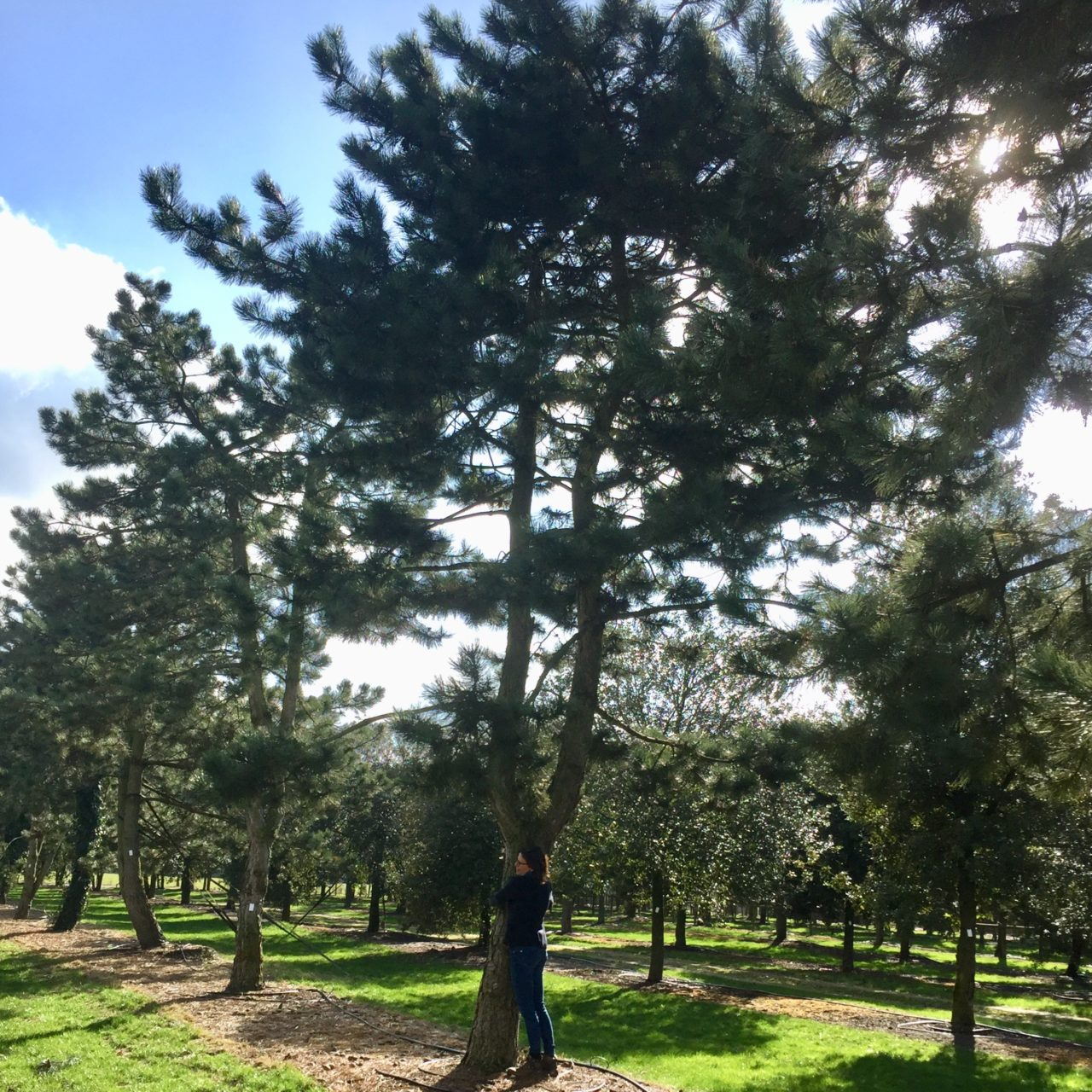Fabulous large pine for my clients tree shopping in Belgium with me