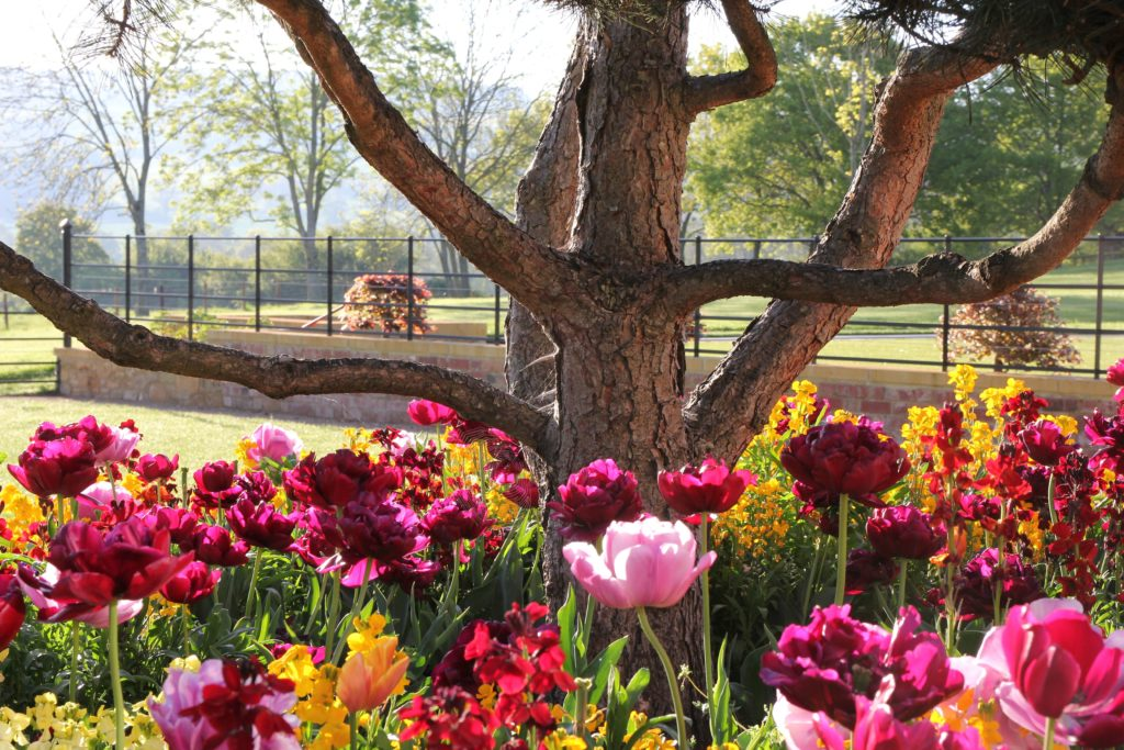 fabulous tulips here underplanting fabulous topiary in this Cotswold garden