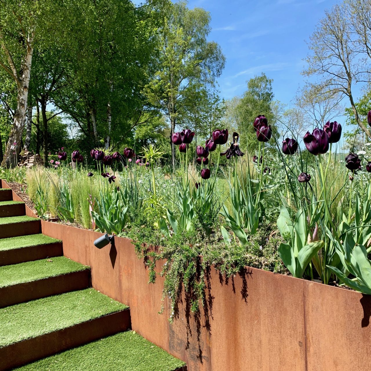 Corten steel supporting wall planted with Queen of the night tulips - gorgeous