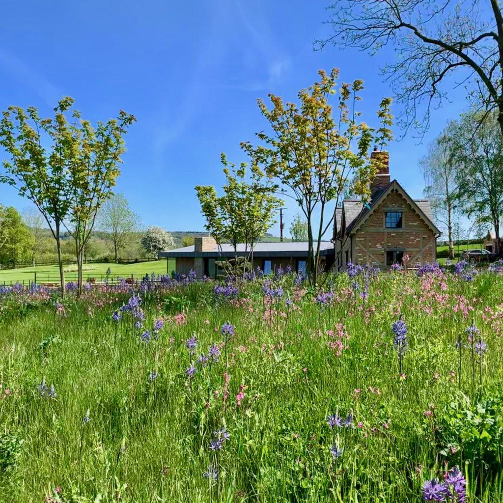 Camassias through a wild flower meadow
