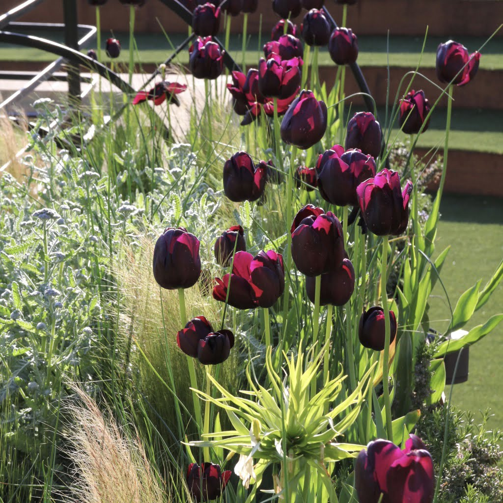 fabulous Queen of the night tulips in this Cotswold scheme