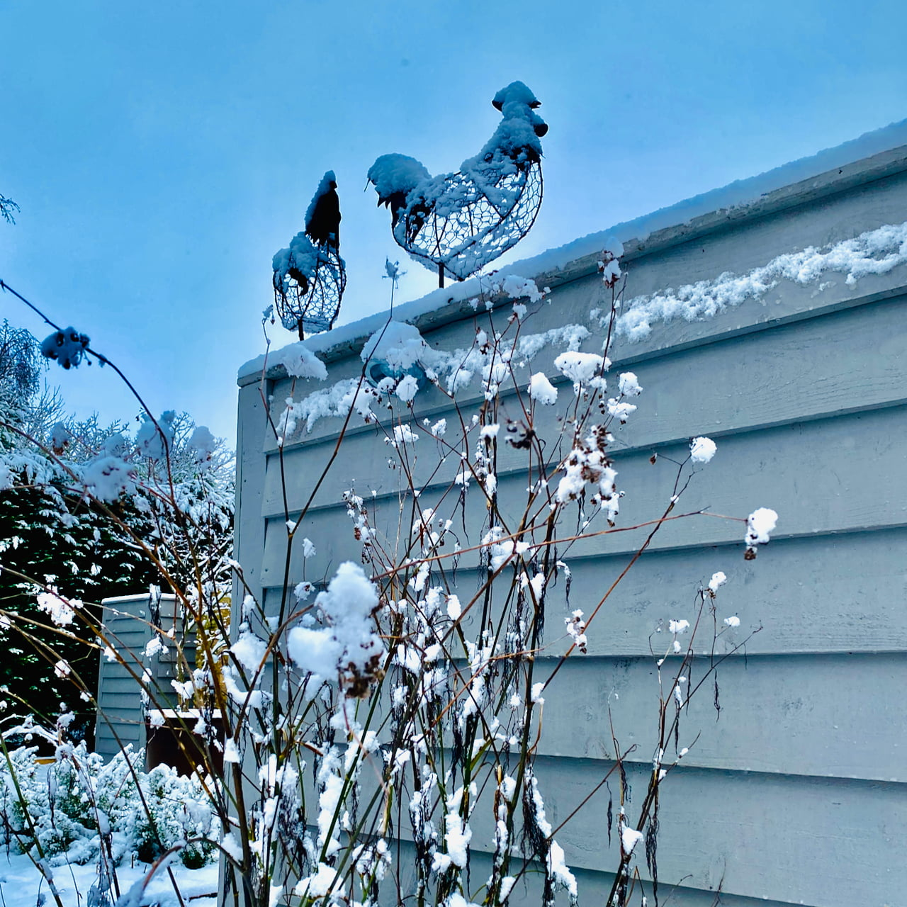 snowy cockerel & pal sitting on the fence in our garden designed by Jo Alderson Phillips